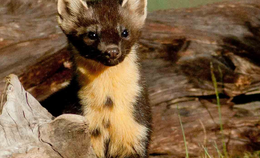 Pine Martens confirmed as key to reversing grey squirrel invasion