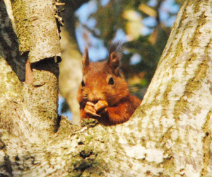 DNA unravels history of red squirrel, reveals risk of dying out