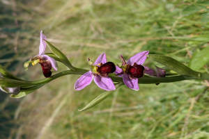 Horticulture student Sean discovers rare Bee Orchid at WIT campus
