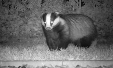 Study that examines the genetic heritage of the Irish badger