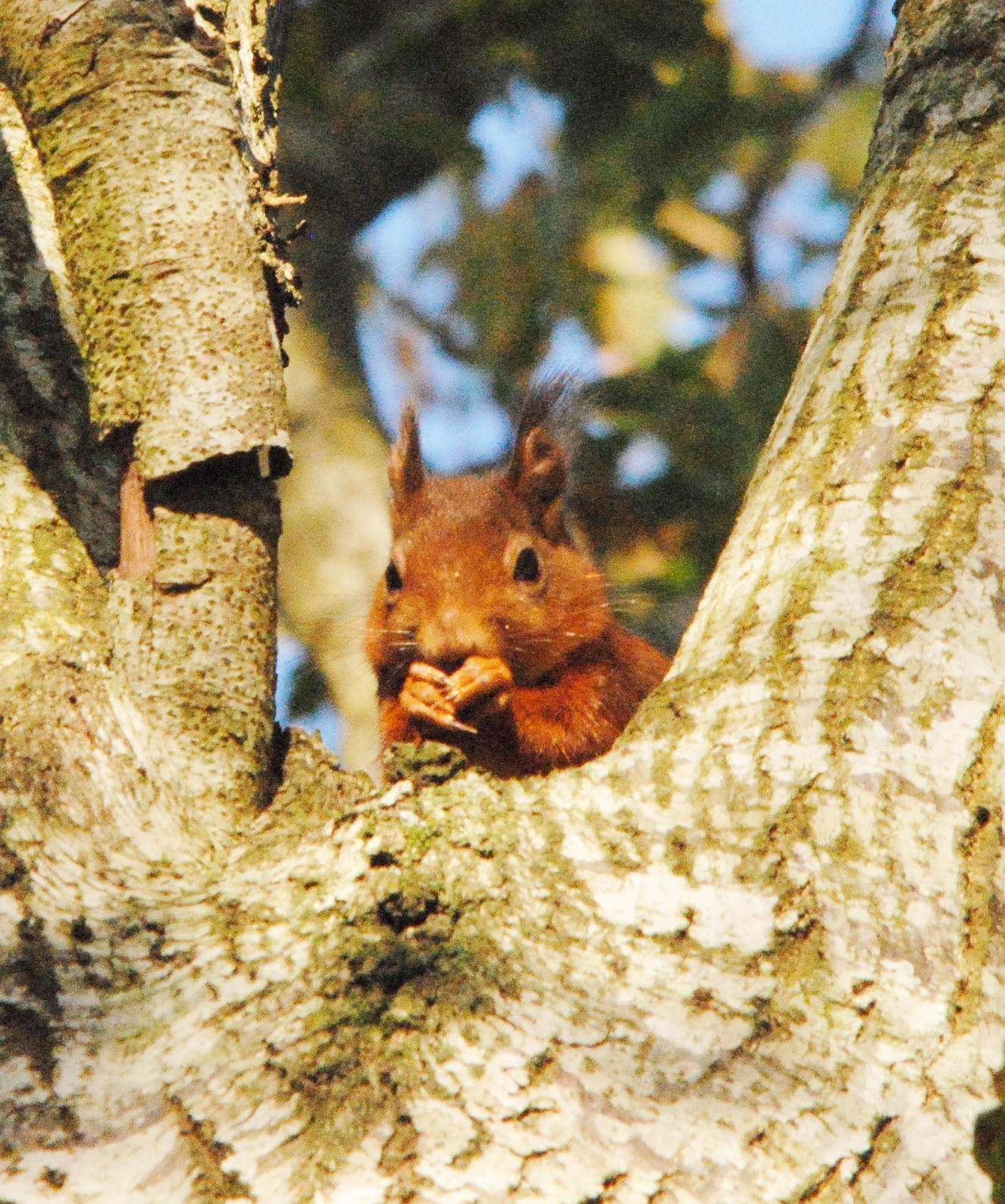 Photo credit: Red squirrel images by Brian Power